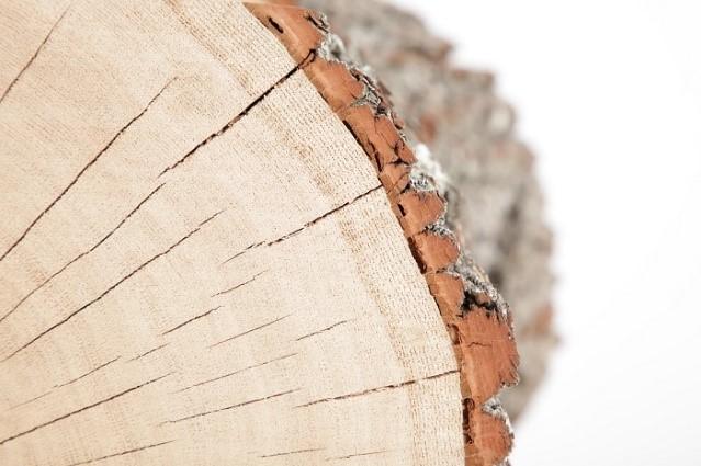 biel budowa drewna